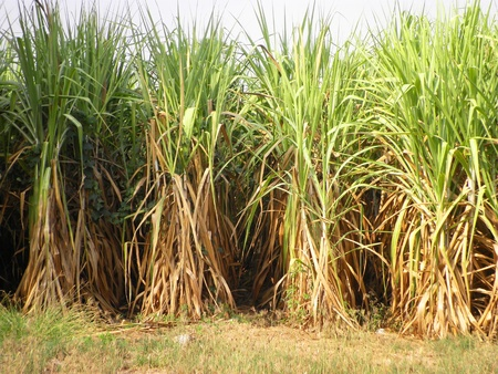 Sugar cane grow in the fresh field          photo