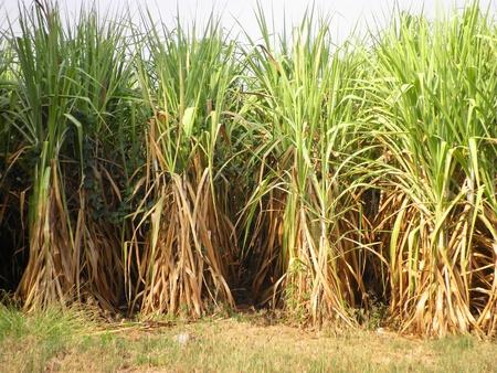 Sugar cane grow in the fresh field Stock Photo - 12433782