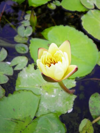 lilia: Close up of fresh water lily lotus