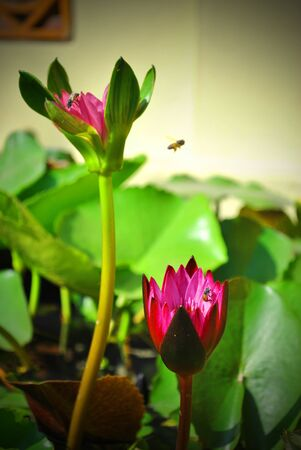 nelumbinis: Lotus is growing out from the water Stock Photo