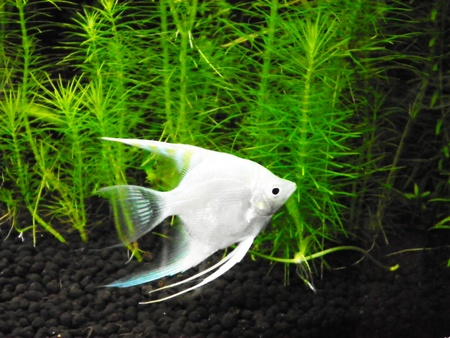 wildllife: The sea small white fish on the water        Stock Photo