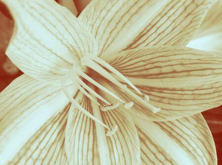 grunge: Vintage grunge lily flower