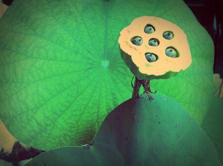 grunge: Vintage lotus leaf Stock Photo