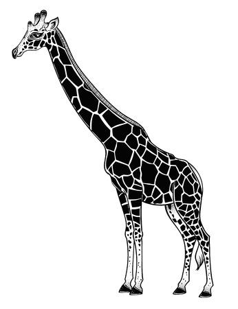 Jirafa, animal africano manchado de cuello largo. Ilustración de vector