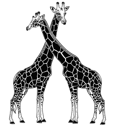 Two Giraffes as a pair of partners in love, spotted long neck African animal couple. Isolated vector illustration. Nature art, friendship tattoo, relationship romantic print, t-shirt design.