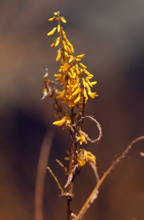 Yellow small spray flowers of sweet clover as well called Melilotus officinalis in summer meadow.