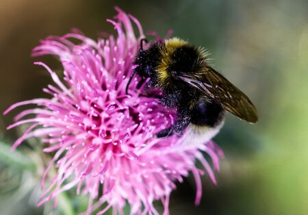 Close-up in vibrant colors of a Bumble Bee collecting pollen on thistle flower. Stockfoto