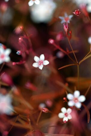 Lilac pale Saxifrage pink spray flowers as well called Petrorhagia saxifraga in summer meadow Stock fotó