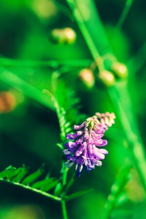 Summer flowering Vicia villosa. Field wild flower fodder vetch close-up on a bokeh backdrop.