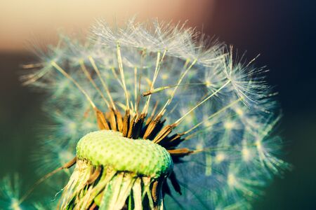 Highly detailed close up of dry dandelion flower. Beautiful forest wild blooms and seeds. Stockfoto