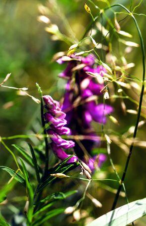 Summer flowering Vicia villosa. Field wild flower fodder vetch close-up on a bokeh backdrop.