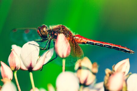 Beautiful insect landing on a grass rush swamp flower on a blurred nature background. Small dragonfly.