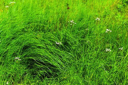 Green grass growing wild on the summer meadow.
