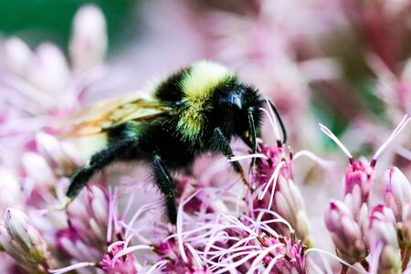 Close-up in vibrant colors of a Bumble Bee collecting pollen on a lilac flower. Stockfoto