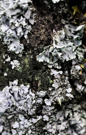 Hammered Shield Lichen or Parmelia sulcata. Highly detailed fungus and moss in the outdoors forest.