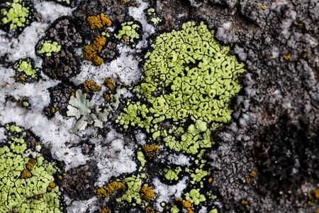 Yellow lichen or moss Cetraria pinastri on the tree. Highly detailed fungus in the outdoors forest. 写真素材