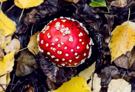 Fly agaric mushroom also known as Amanita muscaria in the forest. Highly detailed red fungus in the outdoors. 免版税图像