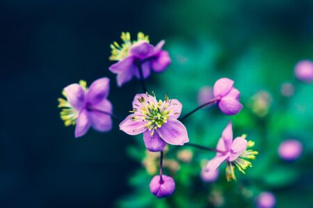Summer flowering macro of Thalictrum delavayi. Small lilac flower blooms in nature close-up on a blurry backdrop.