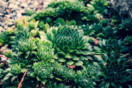 Desert nature decoration. Outdoor succulent cactus Houseleek close up in the natural twirls.