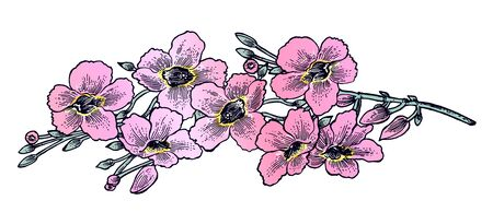 Hand drawn flower of Morning Glory daisy or Bindweed. Vine plant in full bloom with pink buds.