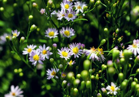 Lilac pale daisy spray flowers as well called Rhone Aster Sedifolius in summer meadow.
