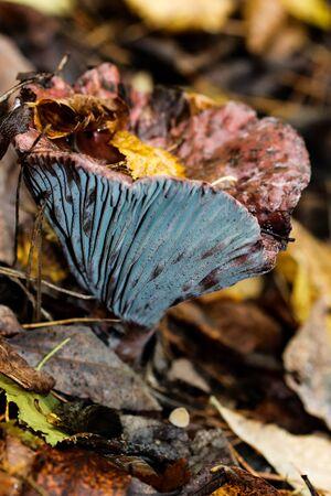 Edible Lactarius Deterrimus with common name of saffron milkcap fungus in the autumn, botany.