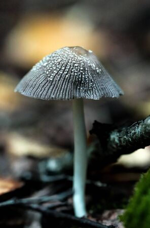 Mycetinis alliaceus fungus in the autumn outdoors botany. Garlic parachute shrooms macro growing on the wood bark.