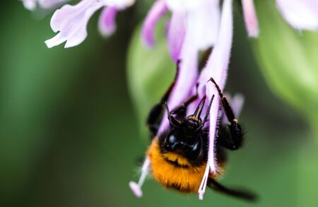 Close-up in vibrant colors of a Bumble Bee collecting pollen on a lilac flower. Reklamní fotografie