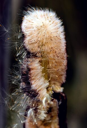 Fluffy reed of Typha Bulrush movement under the wind in autumn light, countryside swampy meadow. 版權商用圖片