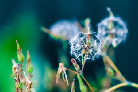 Highly detailed close up of dry faded dandelion flower. Beautiful forest wild blooms and seeds. Fresh foliage natural floral background in vibrant colors.