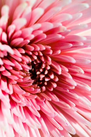Luxurious elegant macro closeup of the chrysanthemum or aster bud aand petals of the flower. Beautiful rythmical blossom in sunlight. Fresh foliage natural dreamy background in vibrant color.