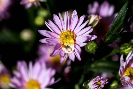 Macro close-up bouquet of the blooming buds of Aster amellus with dew water drops. Little lilac flowers with beautiful blossom on blurry background. Fresh foliage with natural blurry background. Stok Fotoğraf
