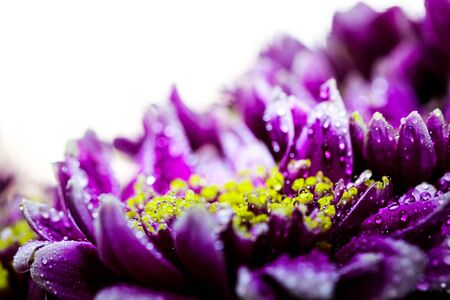 Vigorous artistic closeup inflorescence of blooming Chrysanthemum callistephus chinensis flower with water dew drops