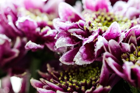 Vigorous artistic closeup bouquet of blooming Chrysanthemum callistephus chinensis flower with water dew drops