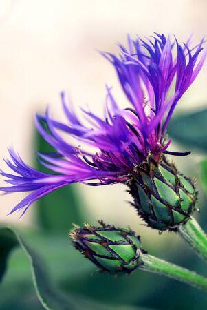 Summer flowering violet Cornflower. Field wild plant spidery Mountain Bluet.