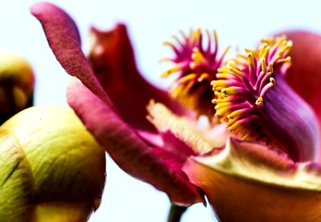 Detailed exotic macro closeup inflorescence of blooming wild Cannonball tree, Couroupita guianensis flower.