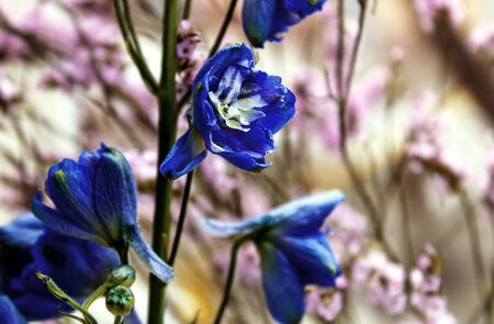 Detailed spring macro closeup inflorescence of blooming Limonium and Blue delphinium flower.