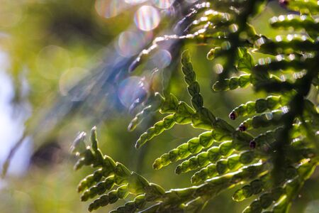 Airy beautiful closeup of cypress tree also known as cupressus through the rays of bright sun in soft focus. 版權商用圖片