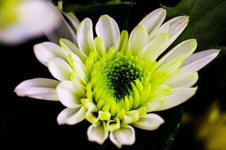 Soft focus elegant macro closeup of a bright blooming chrysanthemum or aster bud with petals of the flower. Reklamní fotografie - 148277090
