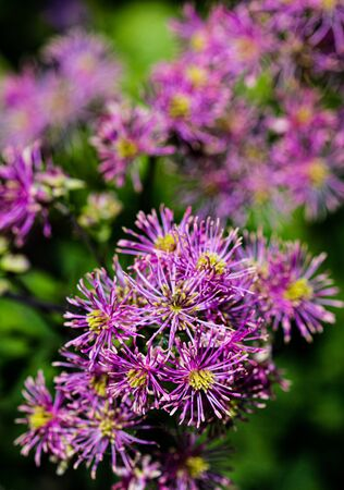 Artistic macro closeup inflorescence of Thalictrum aquilegiifolium also known as Siberian columbine meadow-rue. Stock Photo