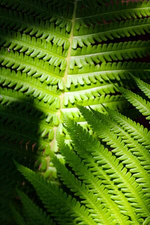 Ostrich, fiddlehead or shuttlecock fern ornamental leaves through the summer sunlight. Stockfoto