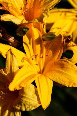 Artistic elegant macro closeup of the yellow garden lily flower.
