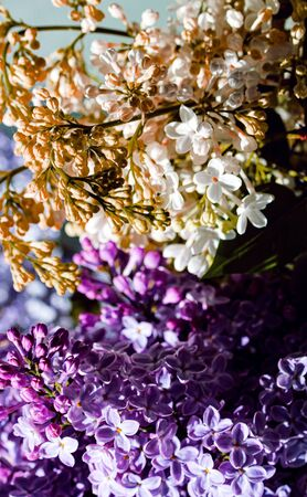 Wild Common Lilac flowers also known as Syringa vulgaris tree blossom blooming in spring. Stok Fotoğraf