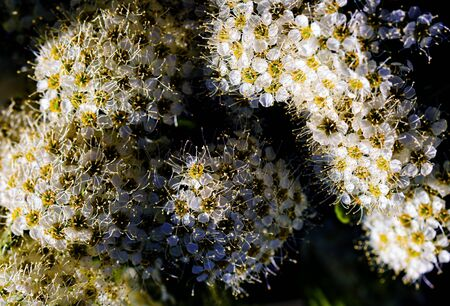 Wild Sorbus, Red Rowan and Mountain ash tree blossoms blooming in spring.
