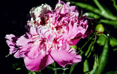 Freshness of spring macro closeup inflorescence of blooming Peony flower. Zdjęcie Seryjne - 150478629