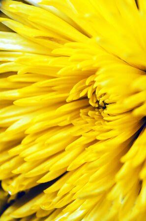 Soft focus elegant macro closeup of yellow chrysanthemum or aster bud with petals of the flower. Stockfoto
