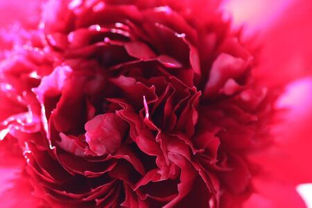 Freshness of spring vibrant red fuchsia macro closeup inflorescence of blooming Peony flower. Dynamic blossoms in sunlight. Fresh foliage natural background.