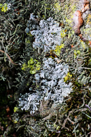 Foliose Lichen texture on the tree. Highly detailed fungus and moss in the outdoors forest.