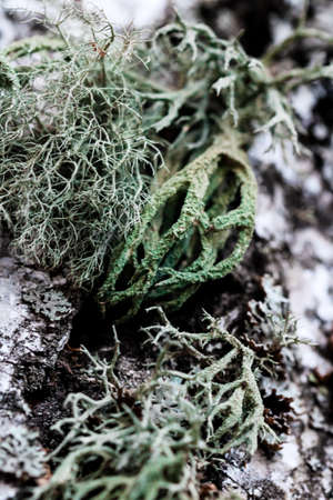 Foliose Lichen texture on the tree. Highly detailed fungus and moss in the outdoors forest. Stock Photo