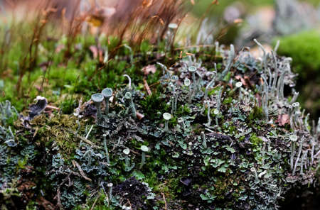 Cladonia Cup lichen. Highly detailed fungus and moss in the outdoors forest.